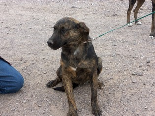 Mutt Dog For Adoption in Golden Valley, AZ, USA