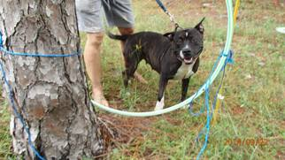 American Pit Bull Terrier Dog For Adoption in Chuluota, FL, USA