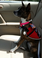 Boston Terrier Mix Dog For Adoption in Maryville, TN