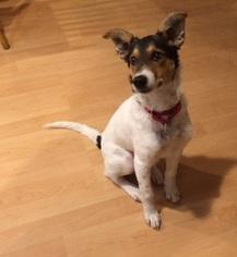 Border Collie-Collie Mix Dog For Adoption in Hewitt, NJ