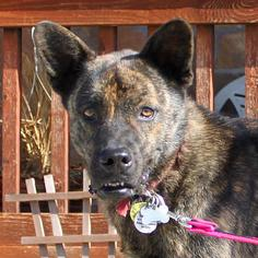 German Shepherd Dog-Shiba Inu Mix Dog For Adoption in Frisco, TX, USA
