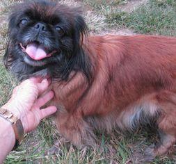 Puppyfinder com: Pekingese dogs for adoption near me in New