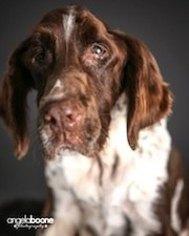 English Springer Spaniel Dog For Adoption in Shakopee, MN, USA