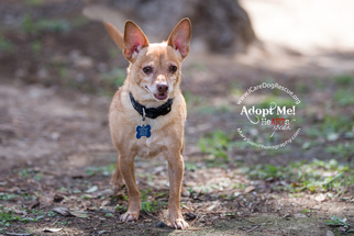 Chihuahua Dog For Adoption in Rancho Santa Margarita, CA, USA