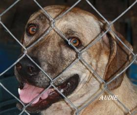 Catahoula Leopard Dog Mix Dog For Adoption in Lone Oak, TX, USA