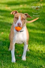 Bull Terrier Mix dog