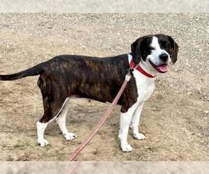 Bogle Dogs for adoption in Minneapolis, MN, USA