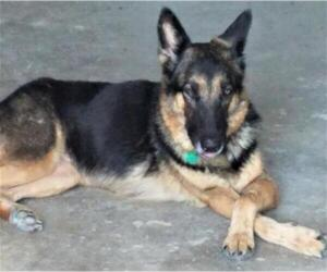 Medium Photo #2 German Shepherd Dog Puppy For Sale in Denton, TX, USA