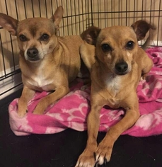Chihuahua Mix Dog For Adoption in Winder, GA, USA