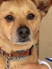 Shiba Inu Mix Dog For Adoption in Midway City, CA, USA
