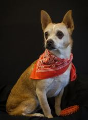 Chihuahua Mix Dog For Adoption in Phelan, CA