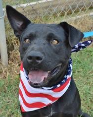 Labrador Retriever Mix Dog For Adoption in Liverpool, TX, USA