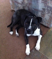 American Staffordshire Terrier Mix Dog For Adoption in Encino, CA, USA