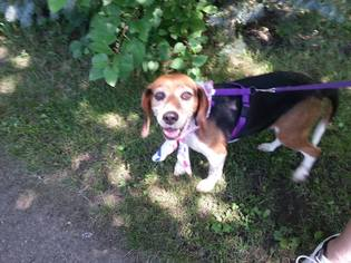 Beagle Dog For Adoption in Iroquois, IL, USA