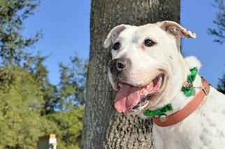 Bulloxer Dog For Adoption in Ocoee, FL