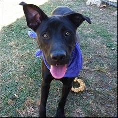 Labrador Retriever Mix Dog For Adoption in Shreveport, LA, USA