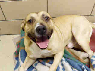 American Pit Bull Terrier Dog For Adoption in Fort Wayne, IN