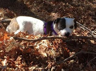 American Bulldog Mix Dog For Adoption in Hull, MA, USA