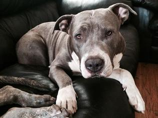 American Staffordshire Terrier Dog For Adoption in Encino, CA, USA