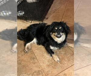 Peke-A-Poo Dogs for adoption in Winder, GA, USA