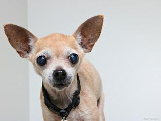View Ad: Chihuahua Dog for Adoption near Minnesota, Eden ...