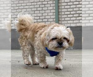 Peke-A-Poo Dogs for adoption in Center Township, PA, USA