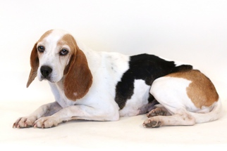 Beagle Mix Dog For Adoption in Bloomington, MN