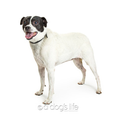 Jack Russell Terrier Dog For Adoption in Tempe, AZ, USA