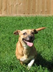 Puggle Dog For Adoption in Alton, IL, USA