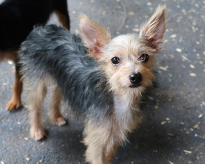 yorkie rescue arkansas yorkie silky mix goldenacresdogs com 453