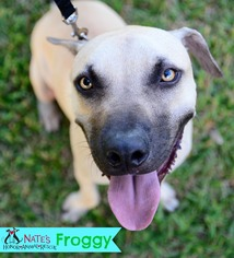Black Mouth Cur Mix Dog For Adoption in Bradenton, FL, USA