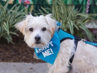 Norfolk Terrier-Silky Terrier Mix Dog For Adoption in Pacific Grove, CA, USA