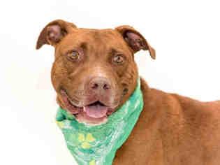 American Pit Bull Terrier Dog For Adoption in Orlando, FL
