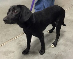 Labbe Dog For Adoption in Winder, GA