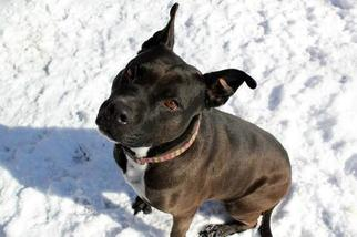 American Pit Bull Terrier Dog For Adoption in Zionsville, IN