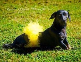 Labrador Retriever Dog For Adoption in Maumelle, AR