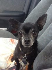 Chihuahua Dog For Adoption in Davie, FL