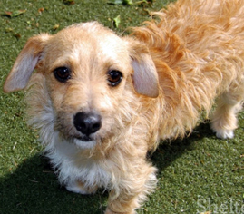 view ad chihuahua lakeland terrier mix dog for adoption california