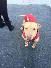 American Pit Bull Terrier Mix Dog For Adoption in New York, NY, USA