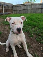 American Pit Bull Terrier Mix Dog For Adoption in Clifton, TX, USA