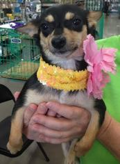 Chiweenie Dog For Adoption in Fort Worth, TX