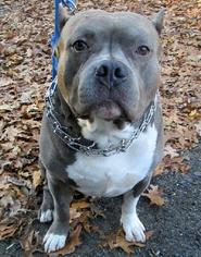 American Staffordshire Terrier Dog For Adoption in Staten Island, NY