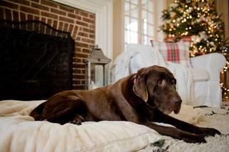 Labrador Retriever Dog For Adoption in Warrington, PA, USA