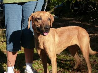 Labrador Retriever Mix Dog For Adoption in Conway, SC, USA