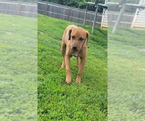 Bogle Dogs for adoption in Aurora, IN, USA