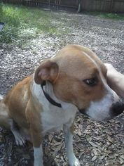 American Bulldog-Catahoula Leopard Dog Mix Dog For Adoption in Tampa, FL, USA