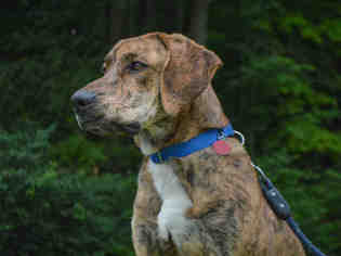 Plott Hound Dog For Adoption in Pittsburgh, PA, USA