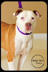 American Staffordshire Terrier Dog For Adoption in Minneapolis, MN, USA