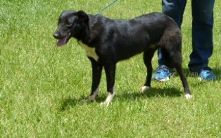 Border Collie Mix Dog For Adoption in Slidell, LA, USA