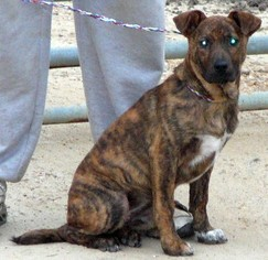 Staffordshire Bull Terrier Mix Dog For Adoption in Slidell, LA, USA